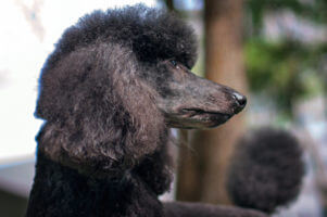 Breed Profile: Poodles